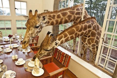 cafe-girafe